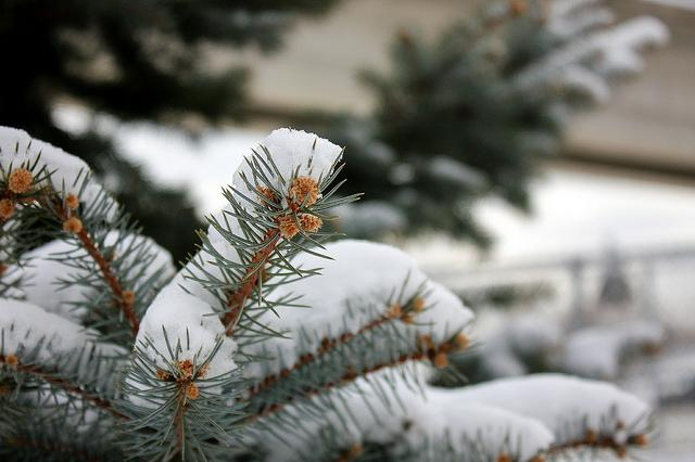 A snow covered pine.